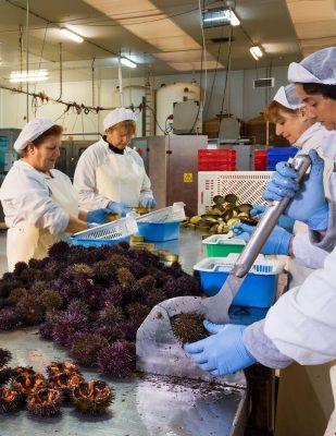 Travail du caviar d'oursins - Agromar - Asturies - Espagne - Nouvelle Vague l'épicerie de la pêche à Bordeaux